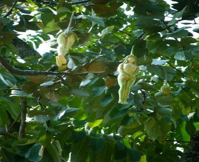 buah aneh berbentuk seperti tubuh wanita