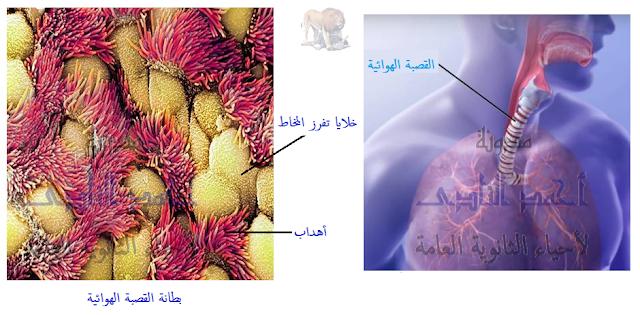 آلية عمل الجهاز المناعى فى  الإنسان - المناعة الطبيعية -خط الدفاع الأول - المخط - الأهداب