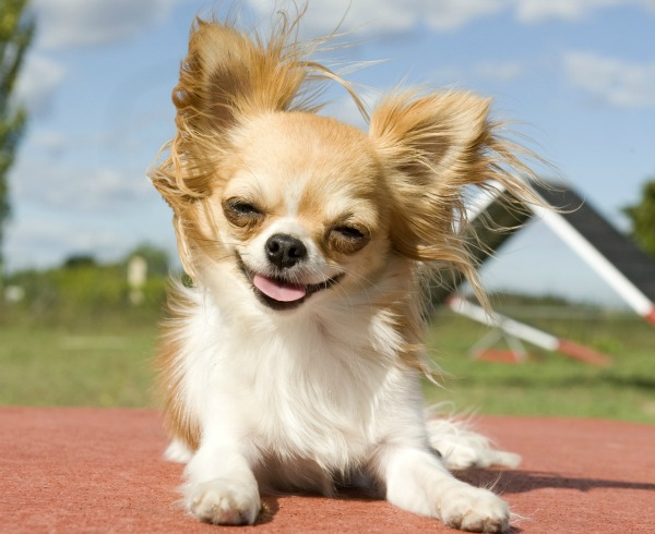 chihuahua breed profile australian dog lover