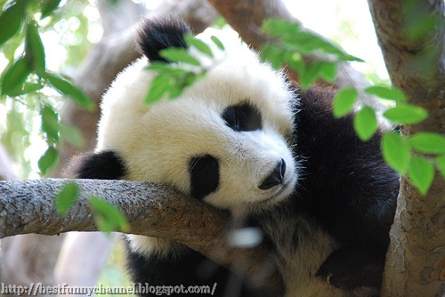 Cute and funny pictures of animals 68. Pandas 8