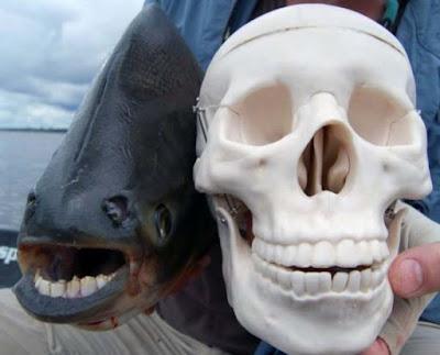 Ikan Pacu - Sekitar Dunia Unik