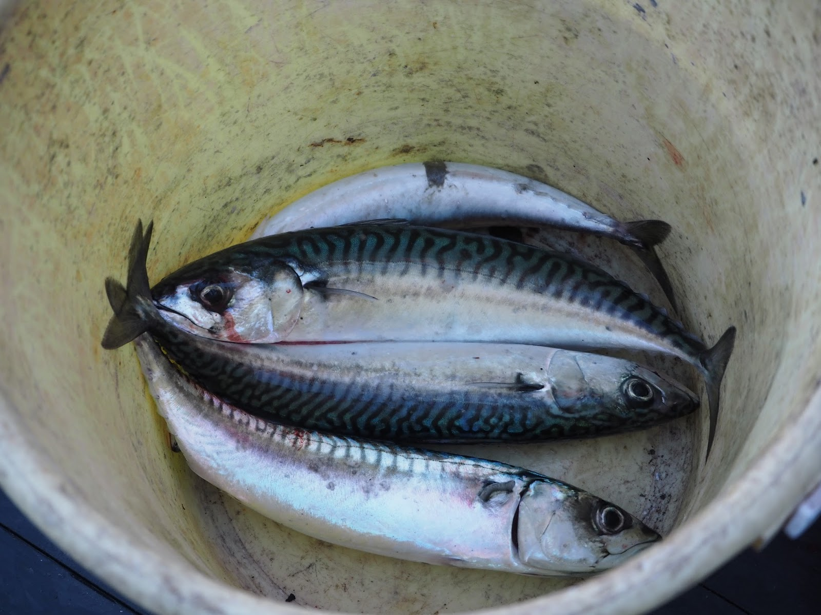 bucket of mackerel