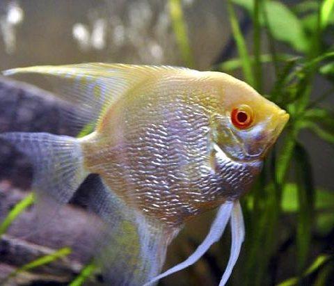 Cách nuôi các loại cá thần tiên, cá ông tiên