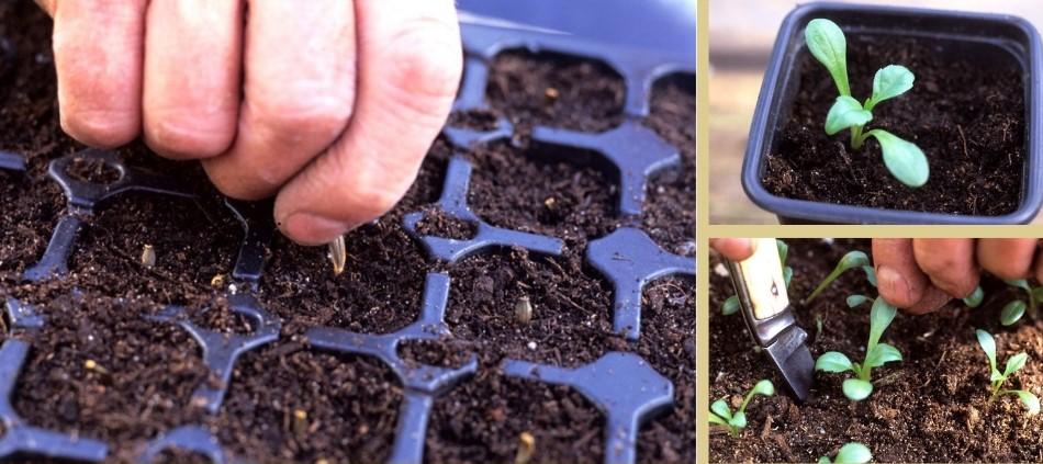 Paso a paso de cómo reproducir dalias por semillas