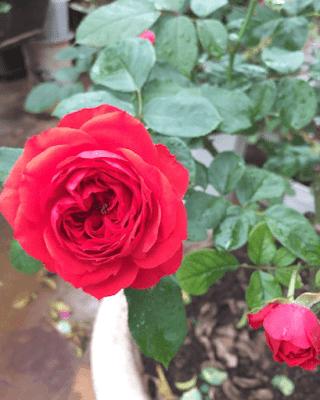 Hoa hồng 8