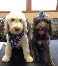 Mini Goldendoodles, 20/25 lbs full grown, Female and Cream Male Available