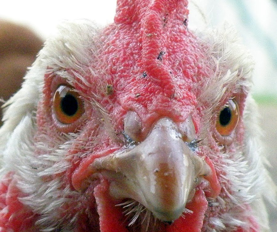 Картинка курица страшная