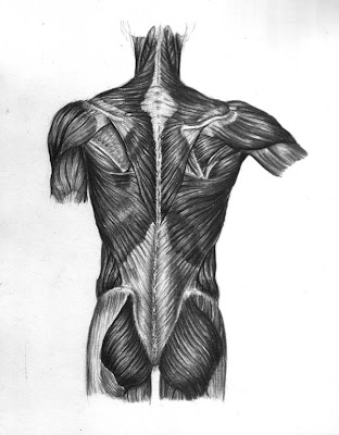 Pencil drawing of a human torso and its muscles