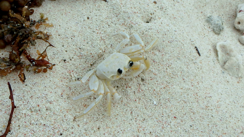A crab on Petit Tabac in the Tobago Cays in the Caribbean
