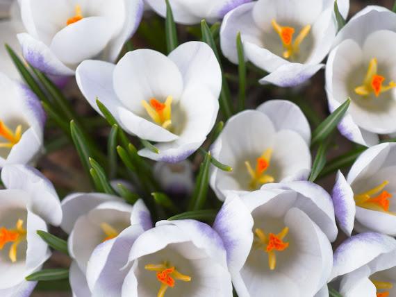 Proljetno cvijeće download besplatne pozadine za desktop 1152x864