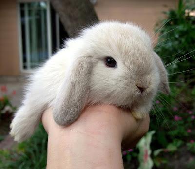Holland Lop Rabbit Babies