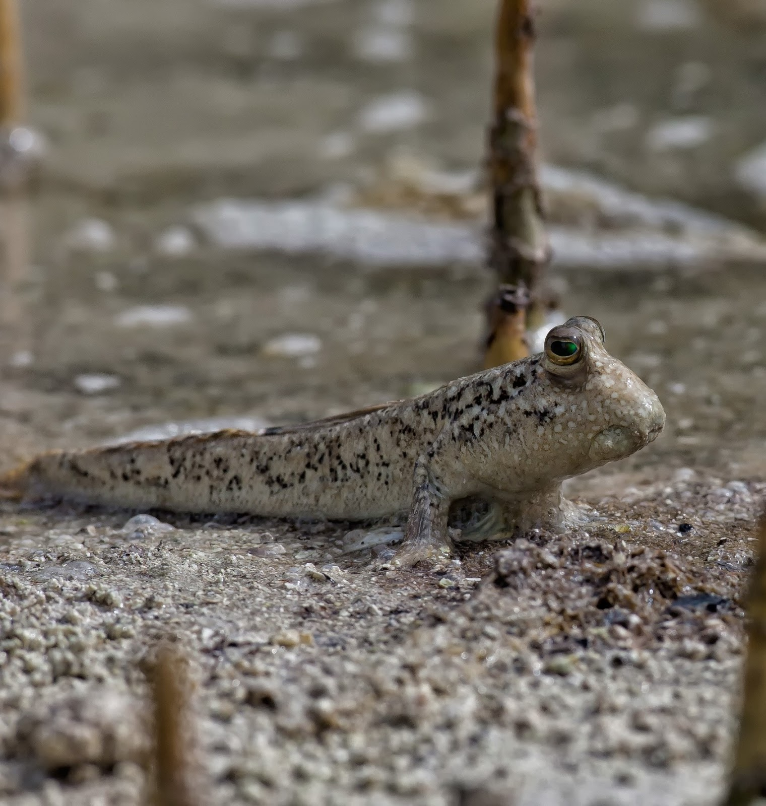 Mudskipper an unusual fish that can live and jump outside water.
