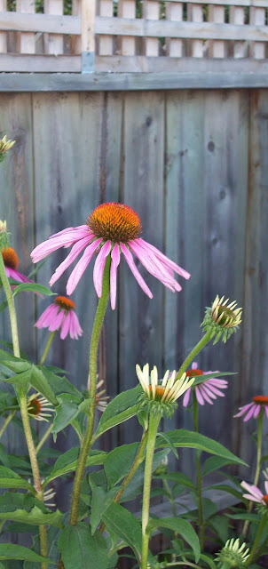 purple coneflower garden photo