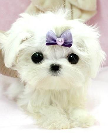 Teacup Micro Puppy Cuteness Overloaded
