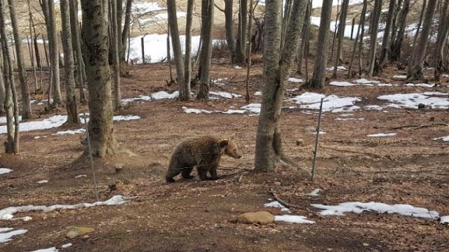 Σκότωσαν έγκυο αρκούδα στην Κοζάνη
