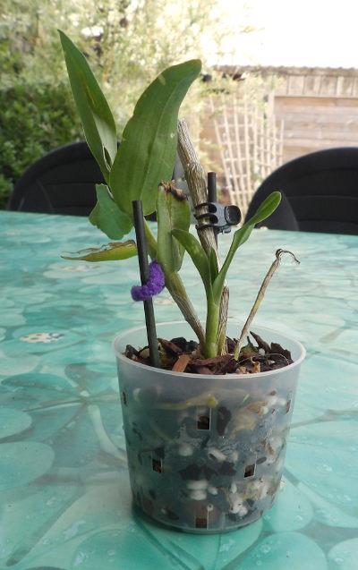 Dendrobium en hydroculture Keiki02_04_07_18