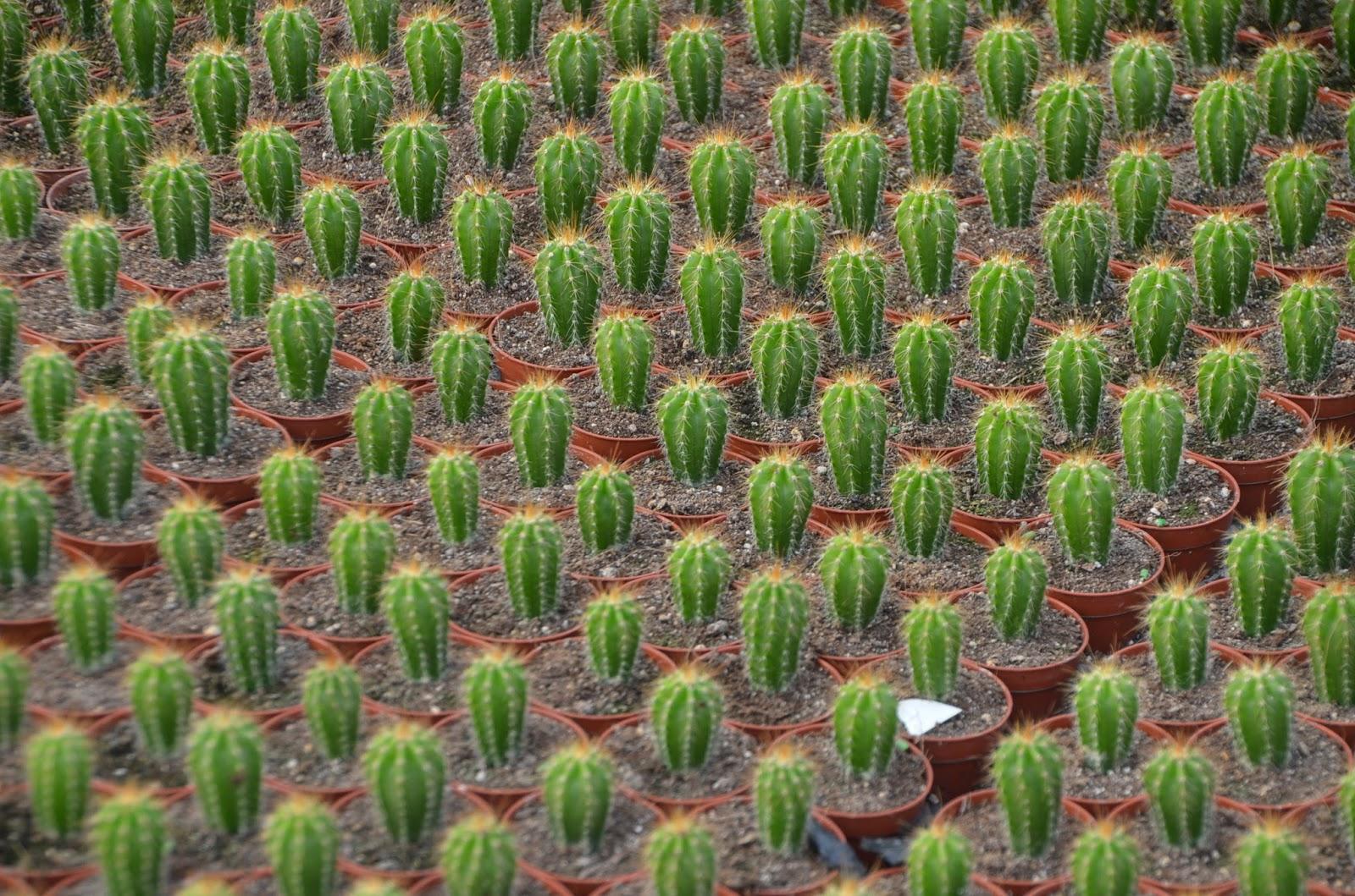 Floraciones en m laga y m s visita al vivero de cactus for Viveros baratos