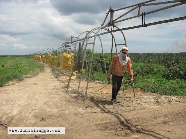 petani pekerja sedang menggerek pisang cavendish sunpride
