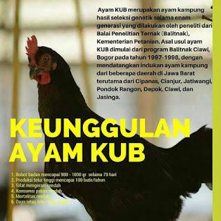 ayam kampung indonesia unggul