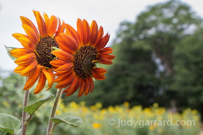 Twin Yellow/Orange Sunflowers