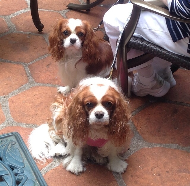 Blenheim Cavalier King Charles Spaniels on outdoor patio in Carmel, California