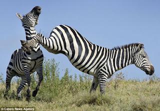 thuat-toan-zebra