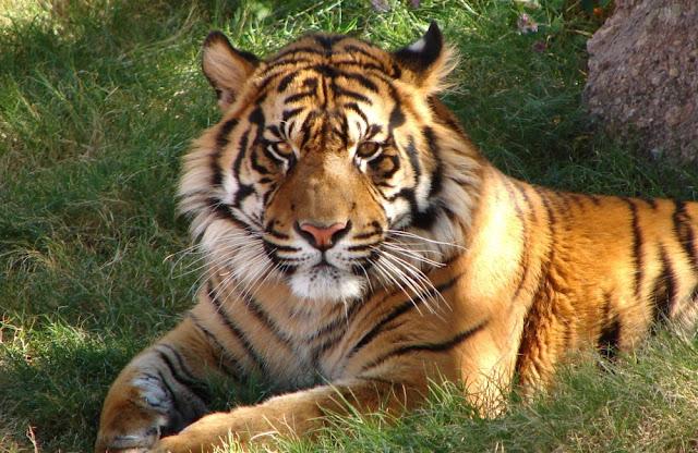 harimau jawa subspesies yang sempat di nyatakan punah