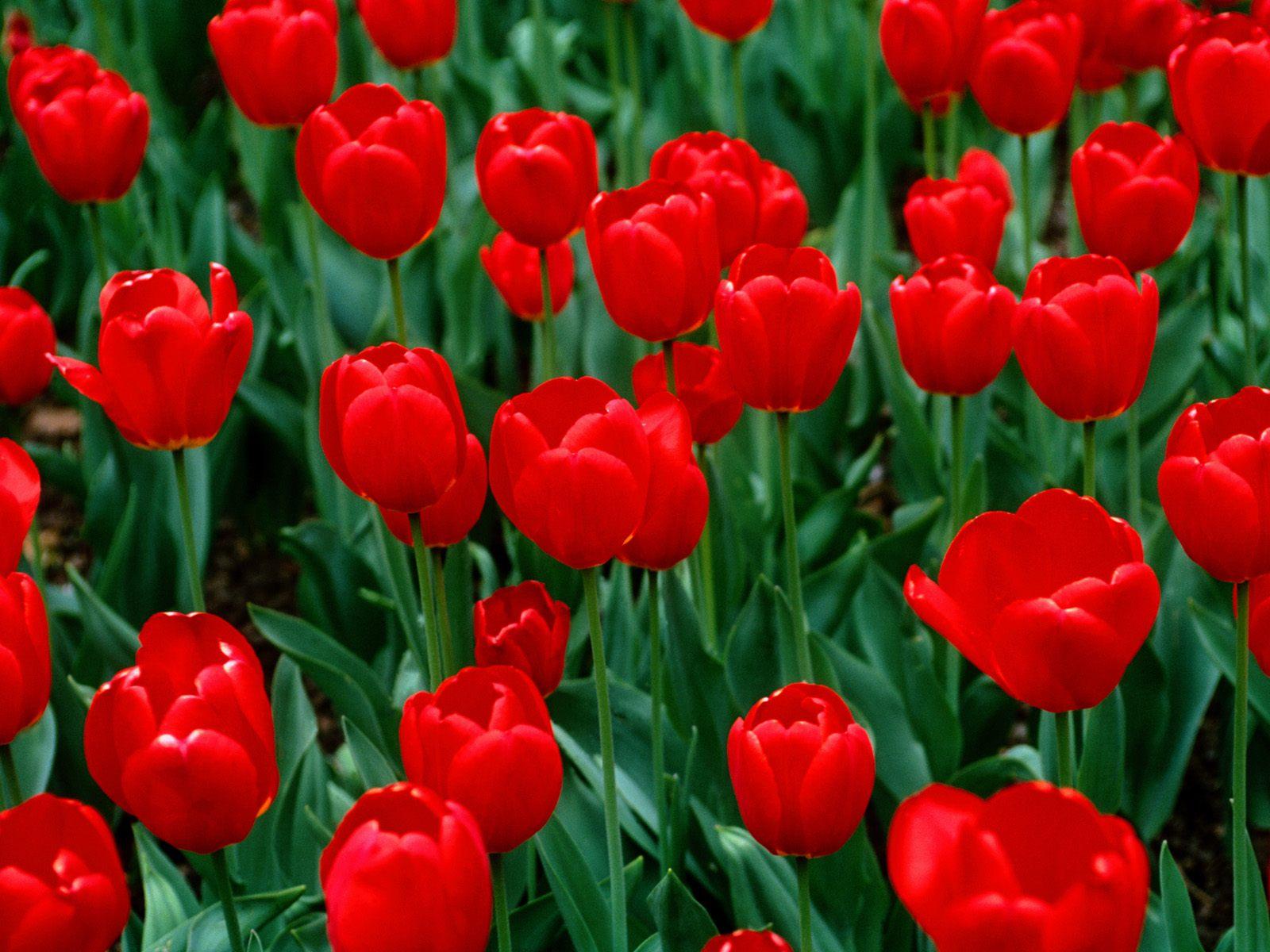 Flowers For Flower Lovers.: Red Tulips Desktop Wallpapers