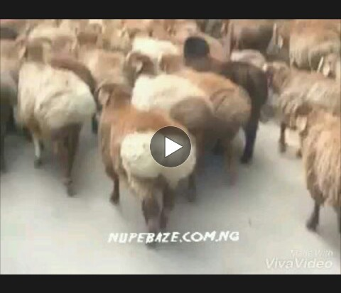 Funny Animal , Funny Sheeps Dancing Video Comedy
