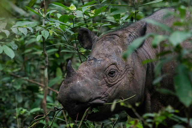 Humans are Sumatran rhinoceros' biggest threat - and last hope