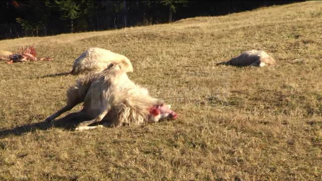 Atacuri ale lupilor în ţarcurile crescătorilor de animale din zona Dornelor - VIDEO