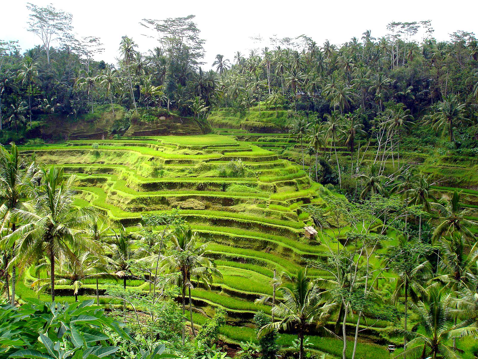 rice fields hd landscape wallpapers hd wallpapers