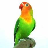 Jenis Lovebird Afrika Jadi Rebutan Para Penggemar Lovebird Manca Dunia