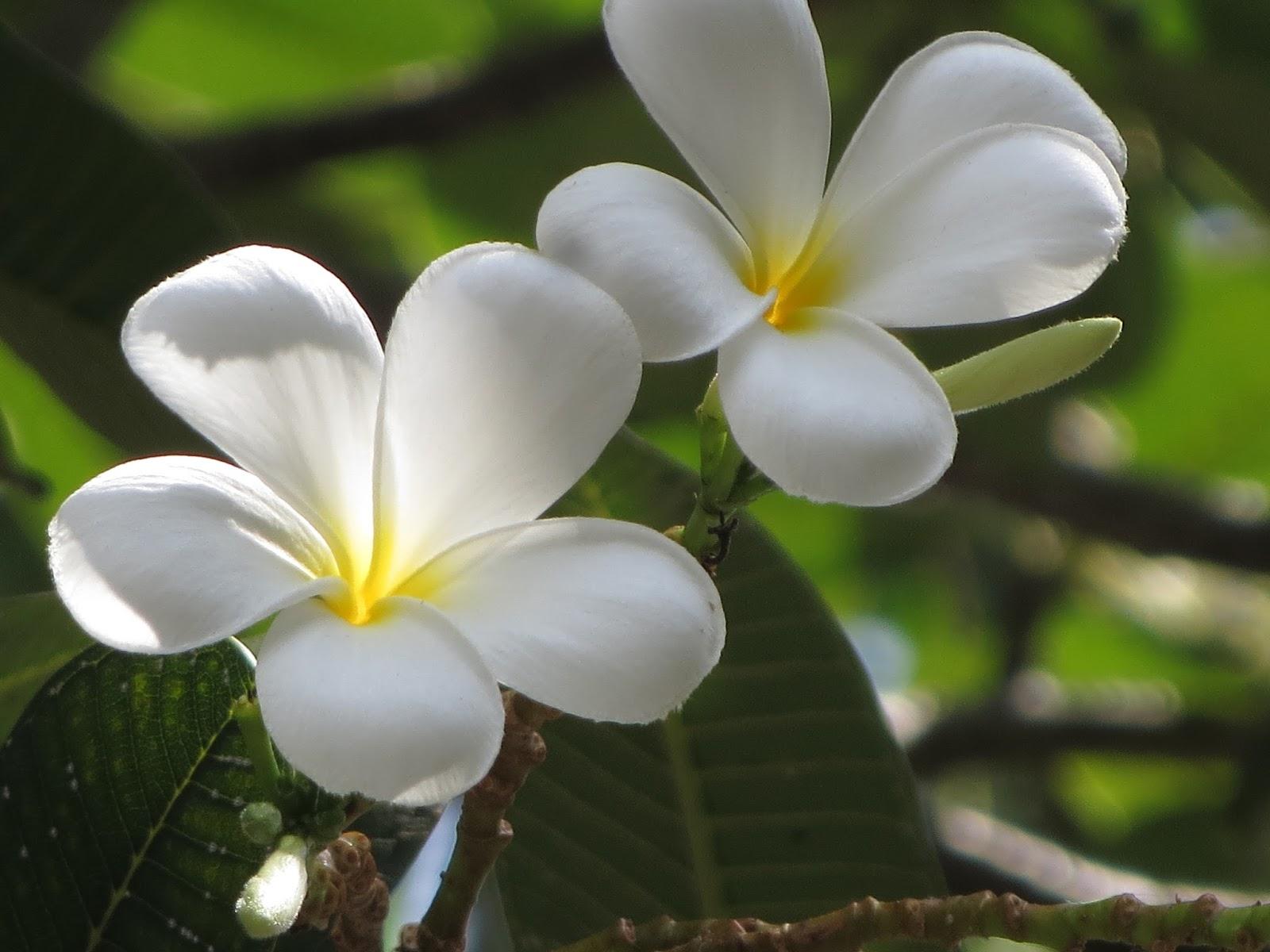 Plumeria floweraraliya flower izmirmasajfo