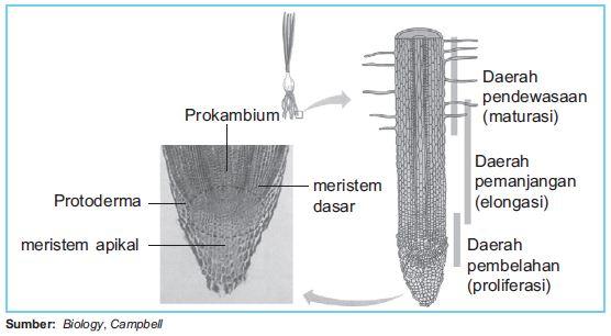 Jaringan tumbuhan jaringan maristem maristem primer maristem hal inilah yang memungkinkan akar dan batang bertambah panjang sehingga tumbuhan dapat bertambah tinggi ccuart Images