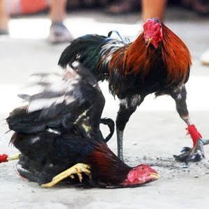 Mengatasi ayam bantat kelebihan berat