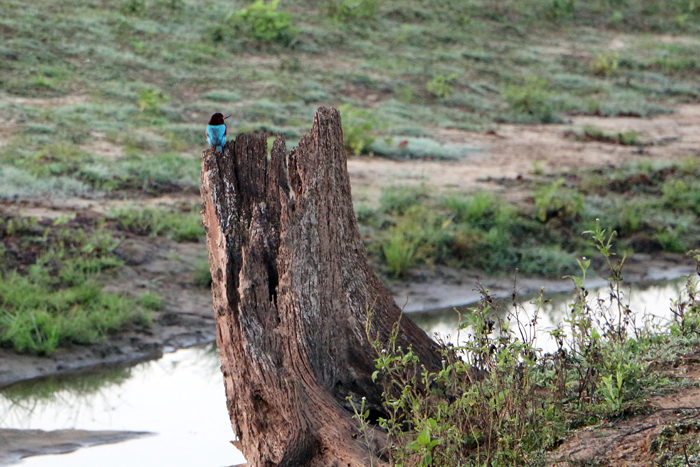 Blauspint im Udawalawe Nationalpark, Sri Lanka