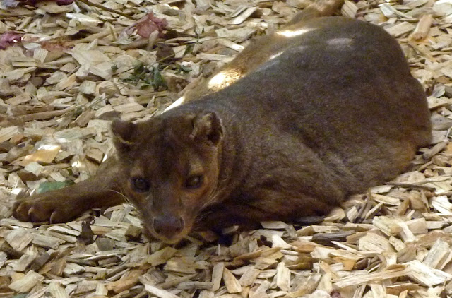 fossa at marwell zoo