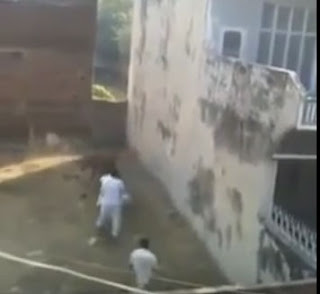 Funny Cow Attempting to Run Before Qurbani