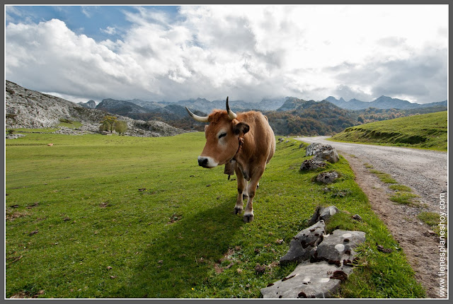 Vaca en Lagos de Covadonga