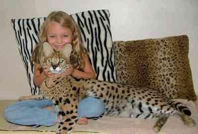 Savannah cat - هجين قط سافانا