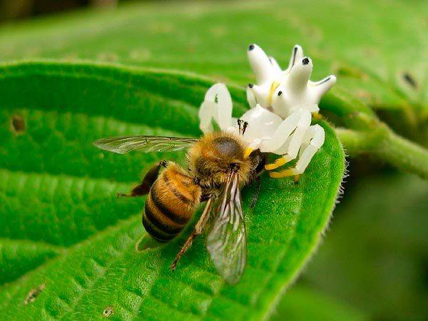 Essas aranhas possuem uma espécie de fluorescência no corpo, esse é um mecanismo para enganar suas presas. Quando insetos, como as moscas, borboletas e vespas, visitam flores em busca de néctar, eles, fascinados pela luz das aranhas fluorescentes, se aproximam sem perceber o perigo, e assim são capturados.