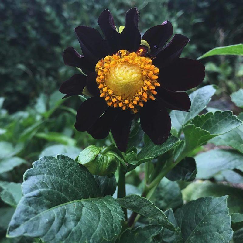 Dahlia negra