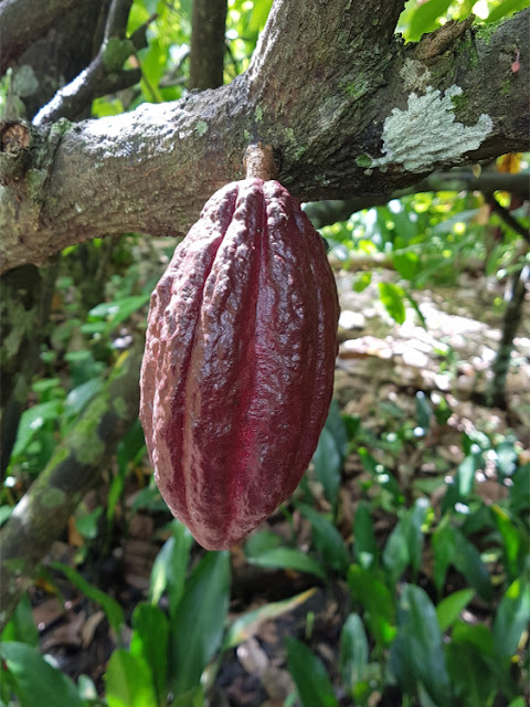 Cacao plantage van Muoi Cuong: cacaovrucht