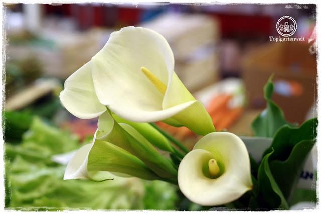 Gartenblog Topfgartenwelt Kroatien: Calla im Blumenmarkt von Opatija
