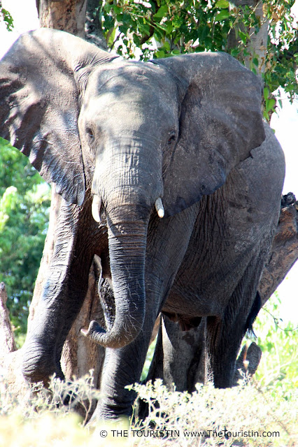 Elephant in Savuti in Chobe National Park in Botswana