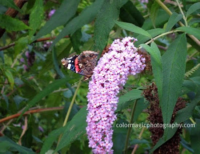 Pink butterfly bush flower with Red Admiral