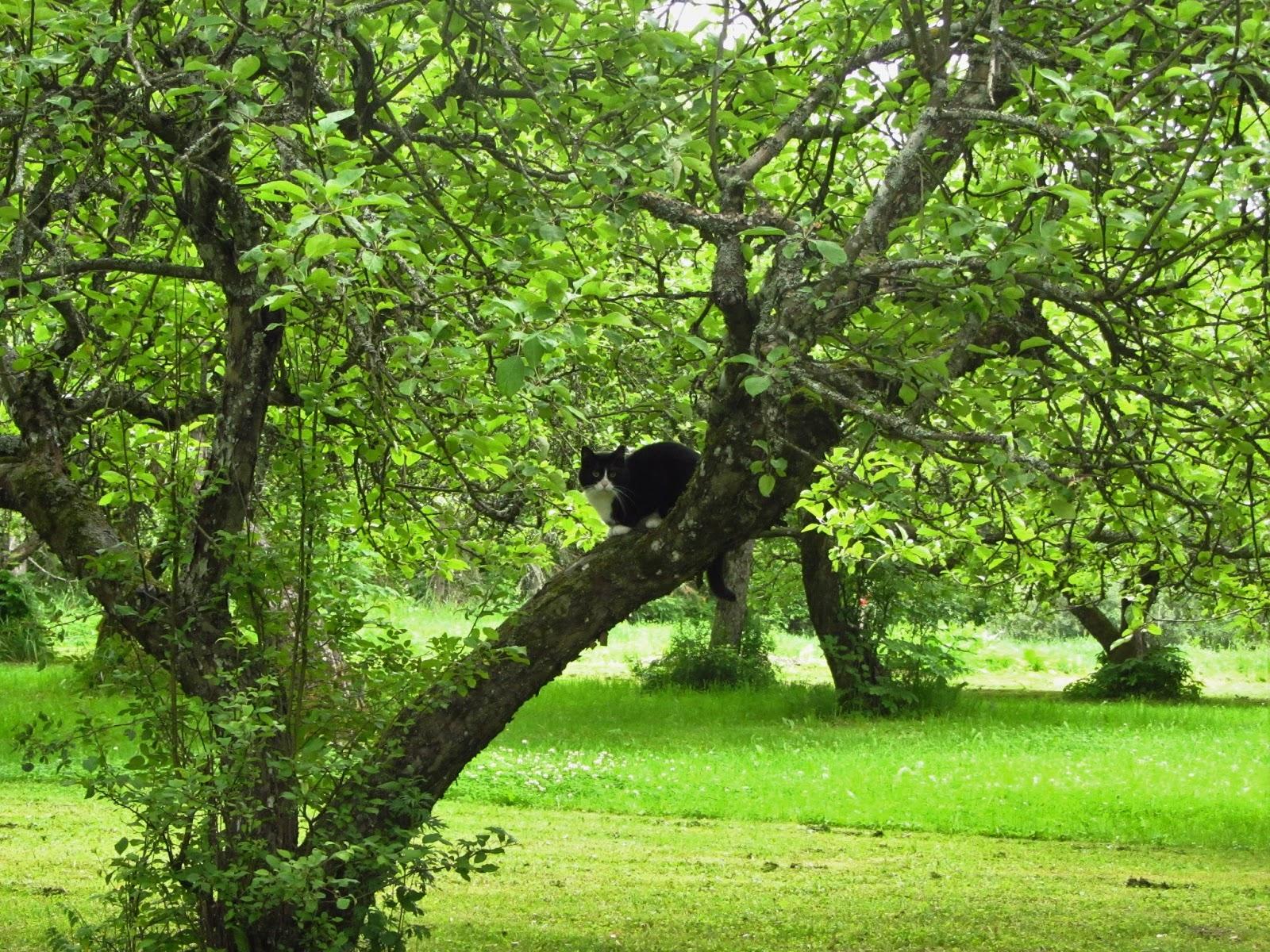 Kissa omenapuussa