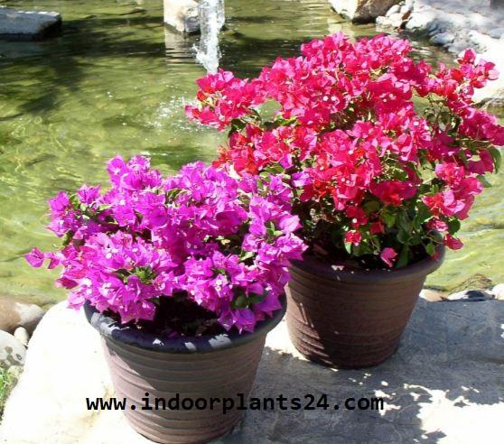 Bougainvillea glabra plant image