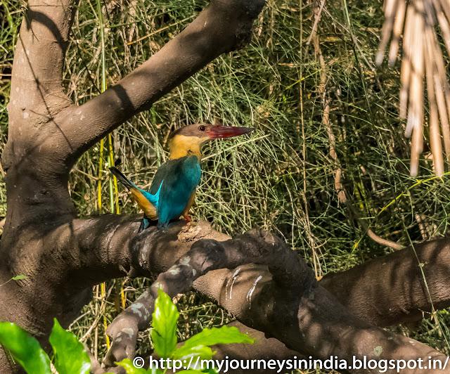Ranganathittu Birds King Fisher